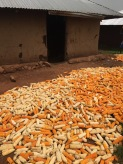 Maize supply drying outside a new student's home